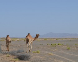 kamieļi Omānas tuksnesī