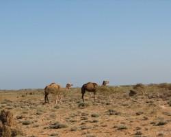 Sokotras salas kamieļi