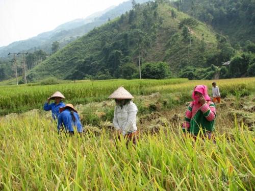 rīsa ražas novākšana (Vjetnama)