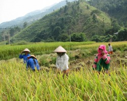 rīsa ražas novākšana