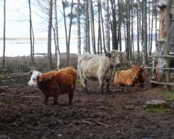 Savvaļas govis