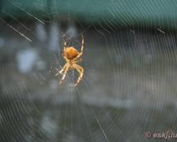 Zirneklis