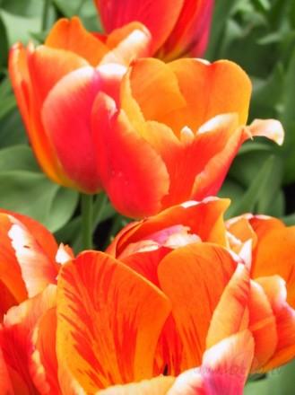 <span class=&quot;f15 lh1p5&quot;>Raibas tulpes</span>