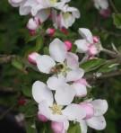 Ābeļu ziedi