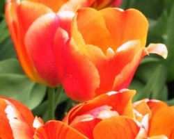 Raibas tulpes
