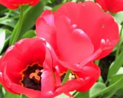 Sarkanas tulpes
