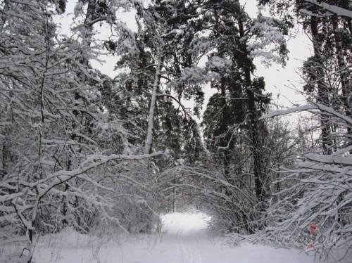 Sniegotais mežs