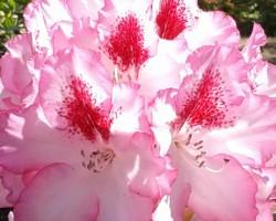 Babites rododendri