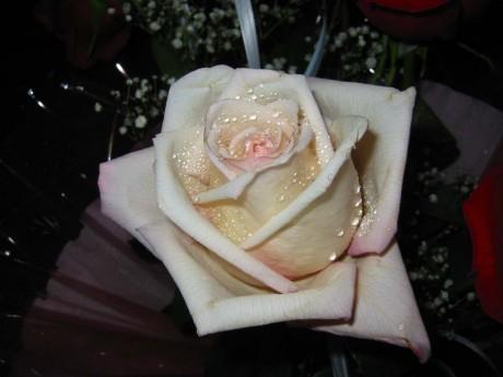 rasa rozēs