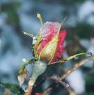 rasa rozēs - 3. foto