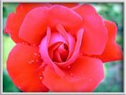 rasa rozēs - 1. foto