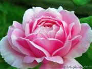 rasa rozēs - 2. foto