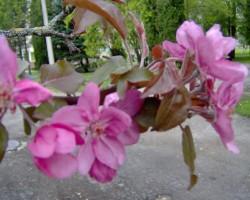 ābele zied