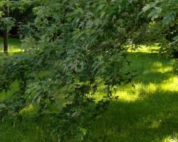 Višķu koki - 1. foto