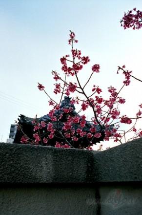 Sakura (Japāna)
