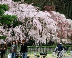 Sakura - 3. foto