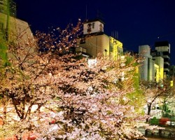 Sakura - 2. foto