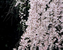 Sakura - 1. foto