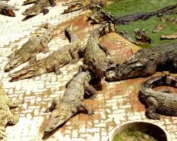 Taizeme_ Krokodiļu ferma - 1. foto