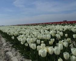 Ziedošā Nīderlande - 2. foto