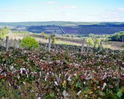 Vīnogulāji