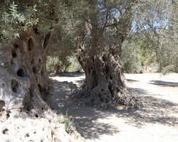 Vecākie pasaules koki