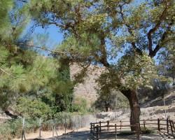 Vēsturiskais olīvkoks
