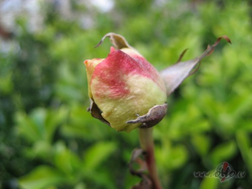 <span class=&quot;f15 lh1p5&quot;>..janvāra roze Braitonā..</span>