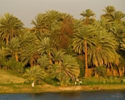Palmu biezoknis saulrietā