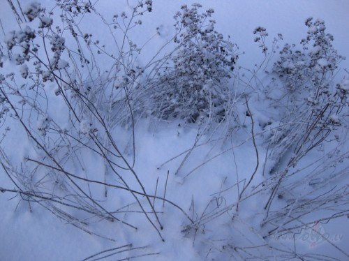 sniega puķe