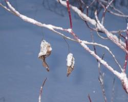 sniega puķe - 2. foto