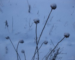 sniega puķe - 3. foto