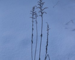 sniega puķe - 1. foto