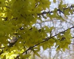 kas man pavasarī uzziedējis - 3. foto