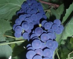 āboli, vīnogas, ogas - 1. foto