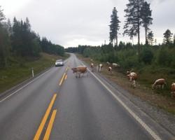 ceļu govis:)