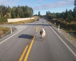 ceļu govis..