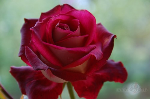 <span class=&quot;f15 lh1p5&quot;>Rudens roze ...... </span>
