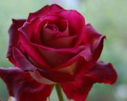Rudens roze ......