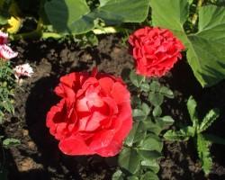 Manas puķes