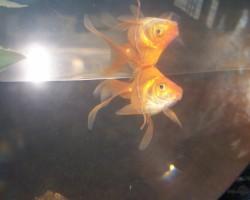Ragaciema zivju restorāna divgadīgais mājdzīvnieks.