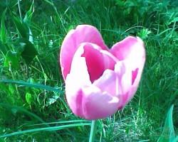 Tulpes visur... - 1. foto