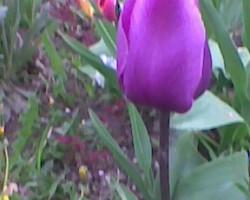 Tulpes visur... - 3. foto