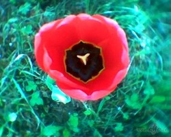 Tulpes visur... - 2. foto