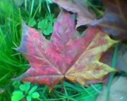 kļavu lapas