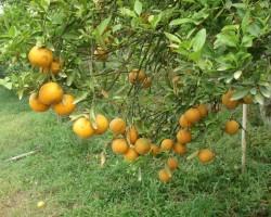 Mandarīnu dārzā Taizemē