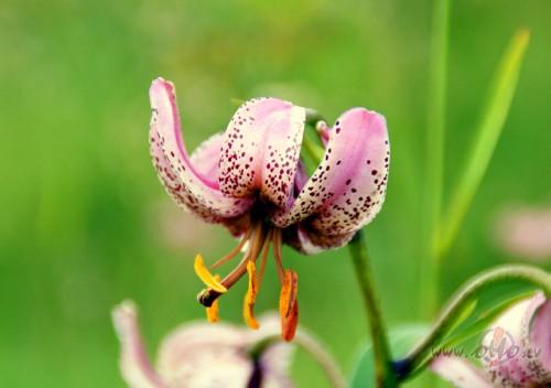 Kalnu ziedi un augi 2