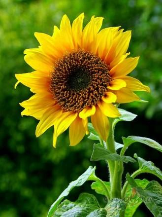 Saulespuķes