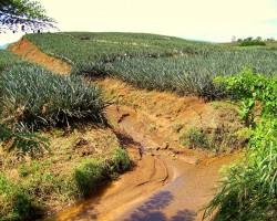 Ananāsu lauki - 1. foto