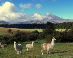 Lamas un alpaki - 1. foto